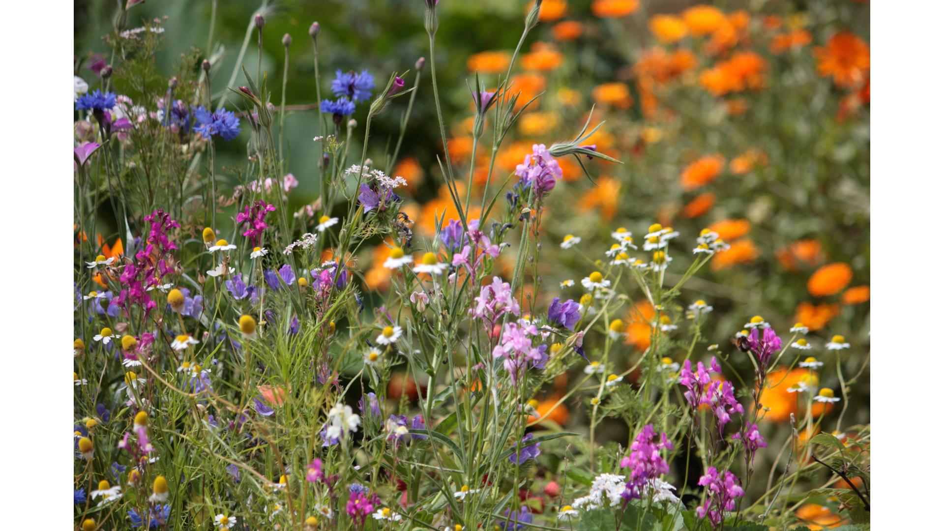 Eetbaar IJsselstein, Hooghe Camp tuin, tuinieren, natuur, IJsselstein, weidebloemen