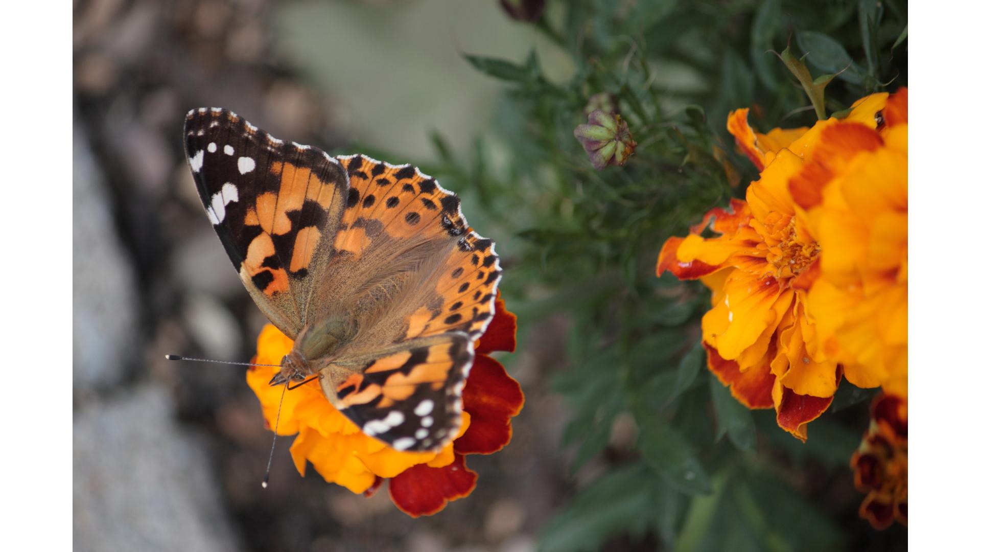 Eetbaar IJsselstein, Hooghe Camp tuin, tuinieren, natuur, IJsselstein, vlinders