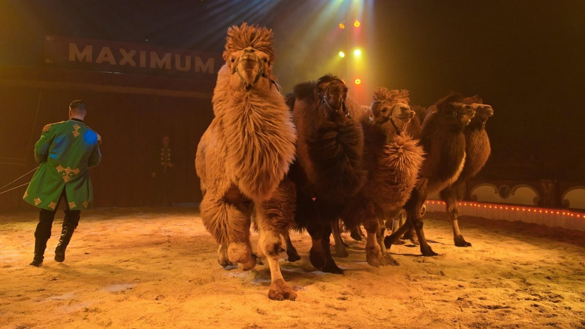 Circus Maxumum kamelen Marlon Zinnecker
