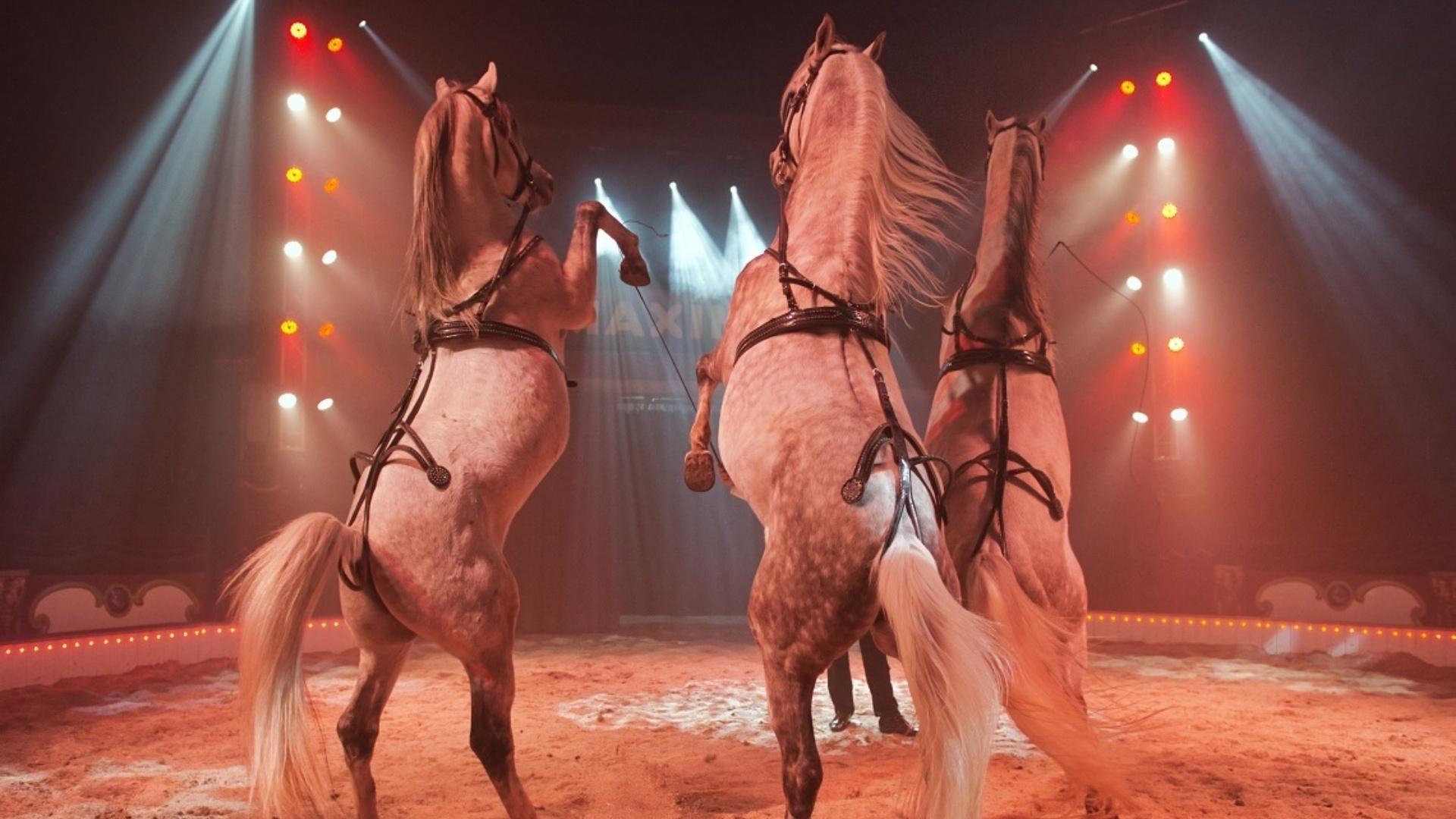 Circus Maximum steigerpaarden Marlon Zinnecker